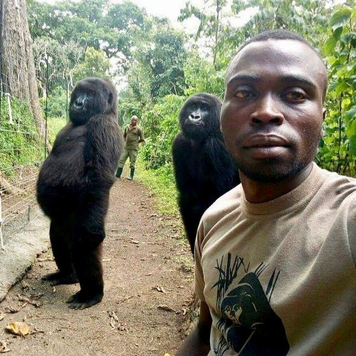 Picture perfect - Congo ranger's gorilla selfie goes viral