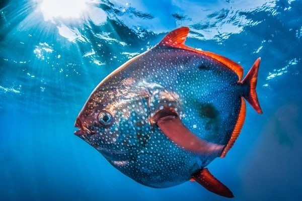 Rarely Seen Moonfish, Size of Manhole Cover, Caught on Camera