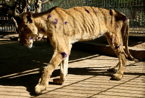 Conservationists try to save underfed lions in Sudanese wildlife park