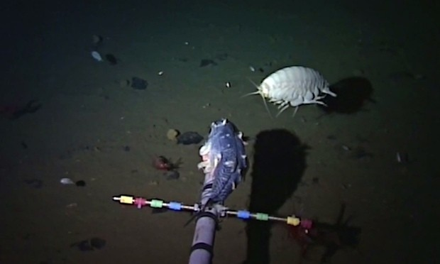 Snailfish sets depth record at more than 8,000 metres below surface of Pacific