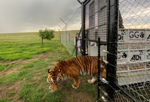 Maltreated tigers and lions, rescued from Guatemala circuses, arrive in South Africa