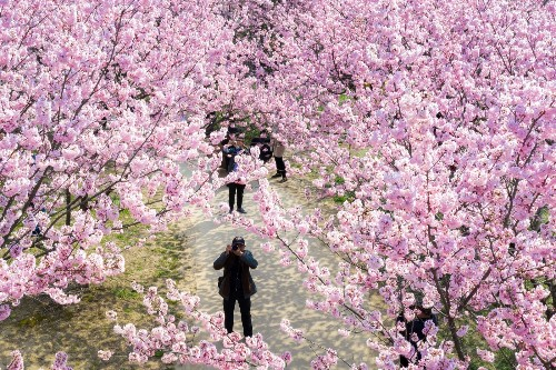 Cherry Blossoms Blooming: Pictures
