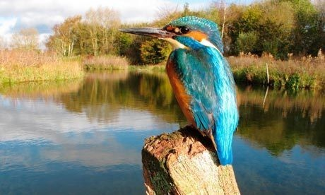 Kingfishers, otters and ladybirds tell heartening tales from the canal bank