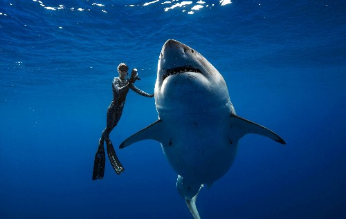 Giant great white shark swims with Hawaii divers