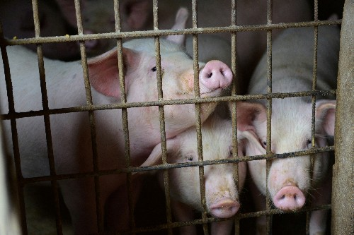 China says making progress on African swine fever vaccine