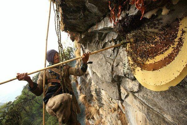 جمع العســــــــــل في جبال الهملايا يتجمع في دولة النيبال وخصيصاً على سفوح جبال الهملايا هناك أكبر خلية نحل في العالم وأكبر عدد نحل موجود على كوكب الارض، عمال جمع هذا العسل معلقين بحبال تتدلي من جبال الهملايا على ارتفاع اكثر من 6 الآف إلى 19 ألف قدم. يتم جمع العسل عادة مرتين في السنة، ويستغرق جني الخلية الواحدة ساعتين إلى ثلاث حسب موقعها وحجمها، #صوره_متحركه
