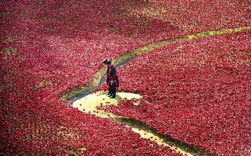 Sea of red: Tower of London poppies seen from the air