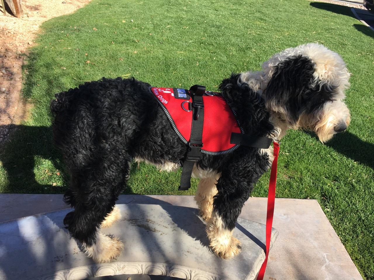 More pictures of Winston the sheepadoodle