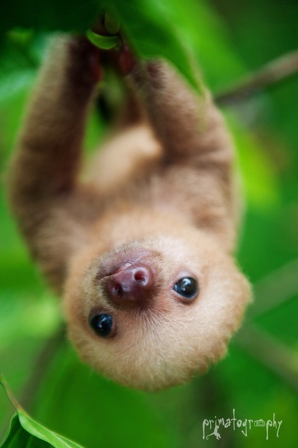 These cute and cuddly sloths are in trouble. The six species that live in Central and South America are either endangered or declining. This is due to people invading the sloths' habitat.