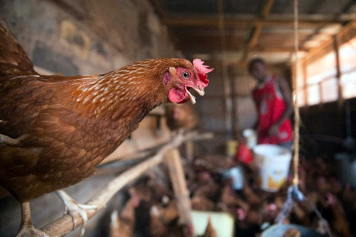 From poo to food: Kenyan toilet waste key for new animal feed