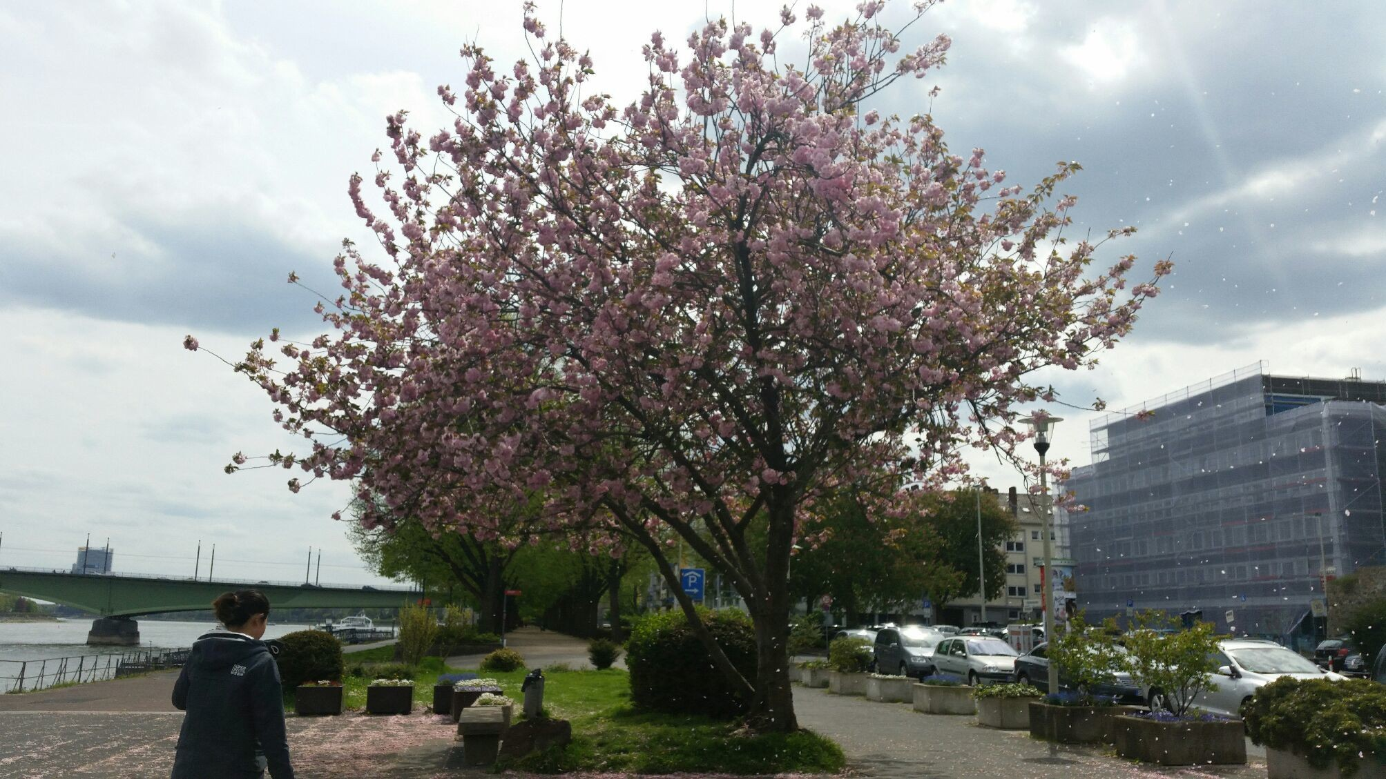Bonn Rhein Sakura