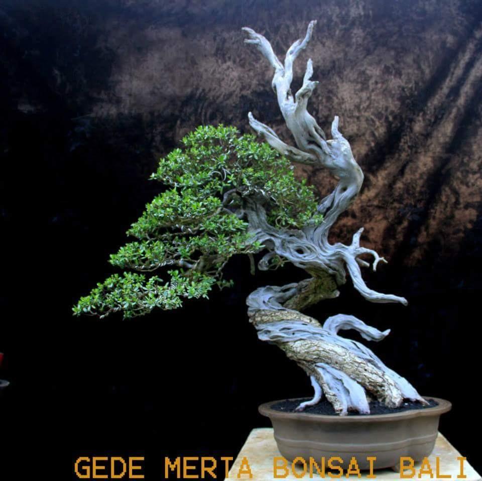 Gedemerta BonsaiBali tree