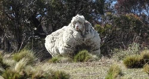 Australia's Chris the sheep, the world's woolliest, dies