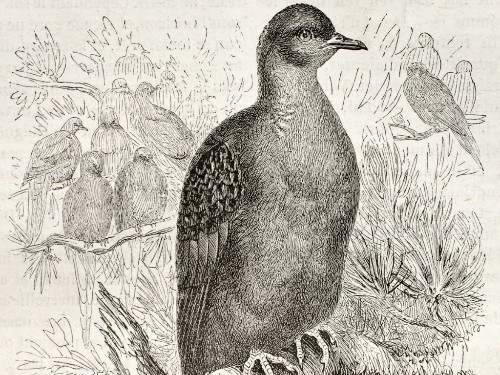 The Last Known Passenger Pigeon Died 100 Year Ago Today — Here Are 9 Other Animals That Were Hunted To Extinction