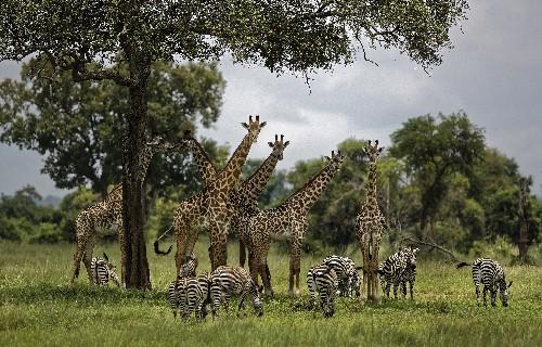 US takes step toward listing giraffes as threatened species