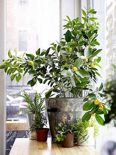 7 Types of Fruit Trees You Can Grow in Your LivingRoom