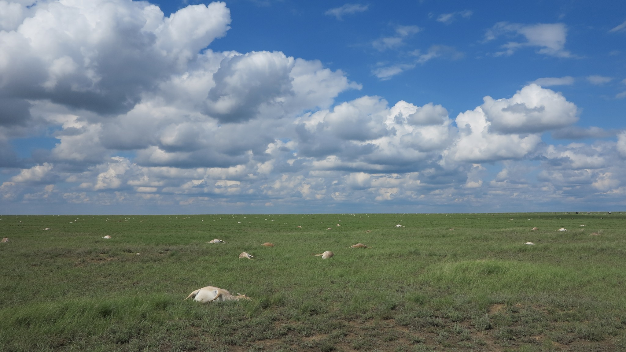 Strange Weather Triggered Bacteria That Killed 200,000 Endangered Antelope