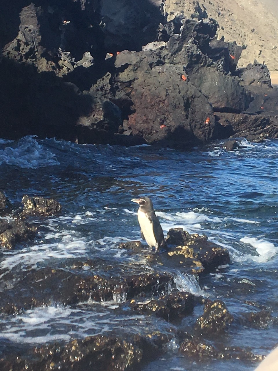And our first Galapagos Penguin sighting! First Zodiac outing is a hit!