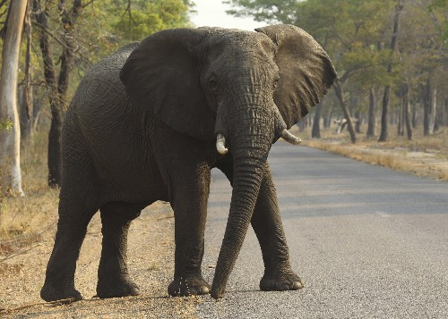 Zimbabwe says 55 elephants have starved to death in 2 months