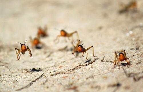 U.N. warns of locust surge on both sides of Red Sea