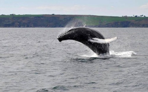 Whale rescued from fishing nets puts on beautiful show for tourists off the coast of Cornwall