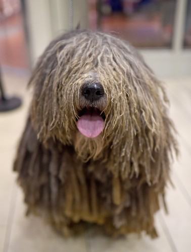 New Breeds for Westminster Dog Show: Pictures