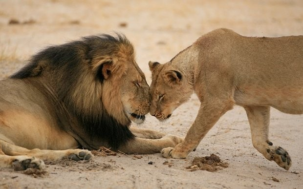 Cecil the lion's killer in hiding as global anger reaches Minnesota hometown