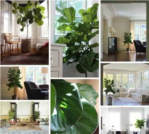 Field Guide: Fiddle Leaf Fig Tree