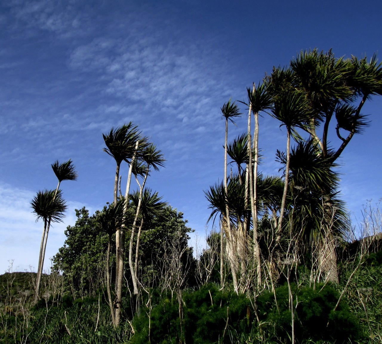 Northerly bluster, Cabbage trees bend atop one of Wellington's hills in a strong north wind