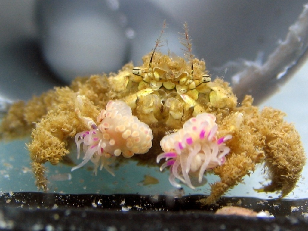 Crab Teases Anemone, Anemone Splits In Two, Crab And Anemone Live On