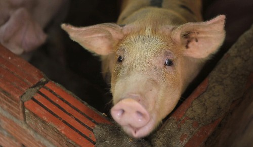 Asian nations scramble to contain pig disease outbreaks