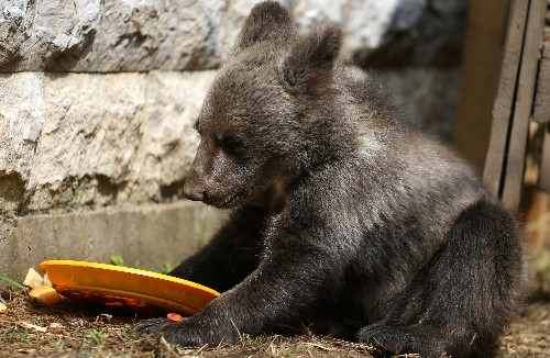 Orphaned bear Aida finds home in Sarajevo Zoo after rescue from the wild