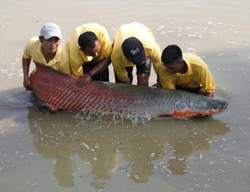 Amazon fish wears nature's 'bullet-proof vest' to thwart piranhas