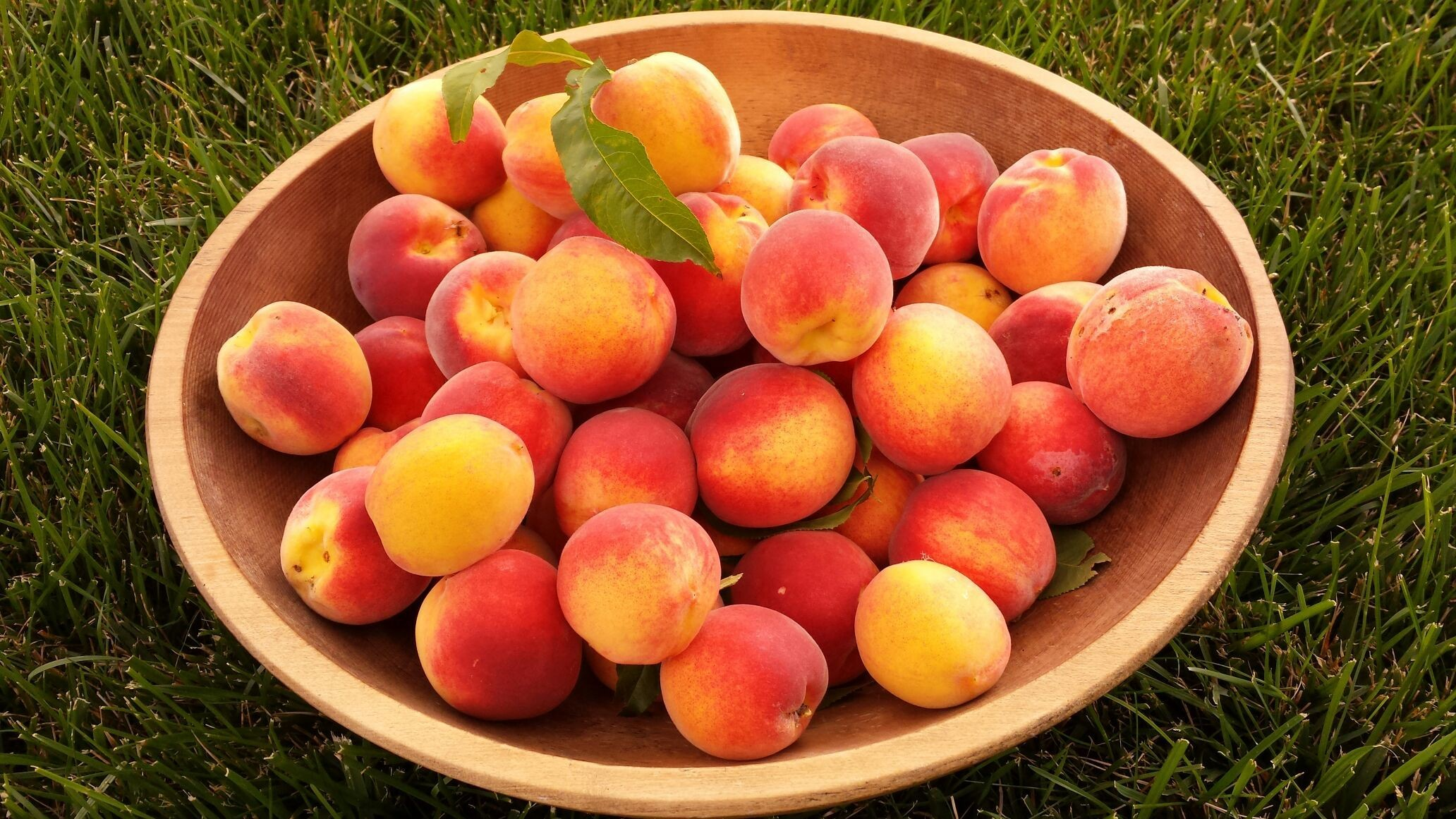 The peach harvest this year! The peach tree was planted just last year. #growyourownfood