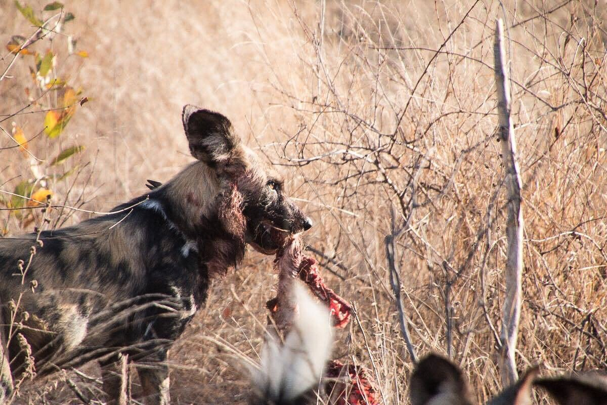 Wild dog with a kill. Elephant Plains Game Reserve South Africa.