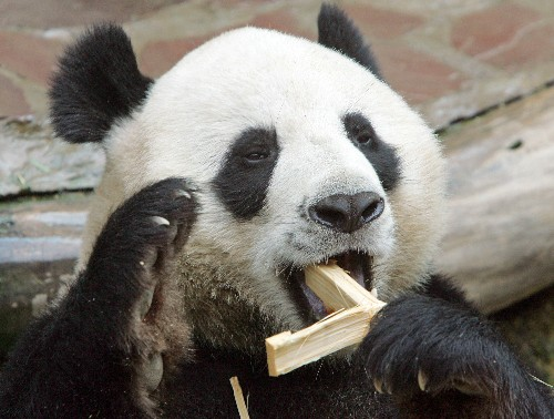 Thai zoo solves mystery of celebrity panda's death
