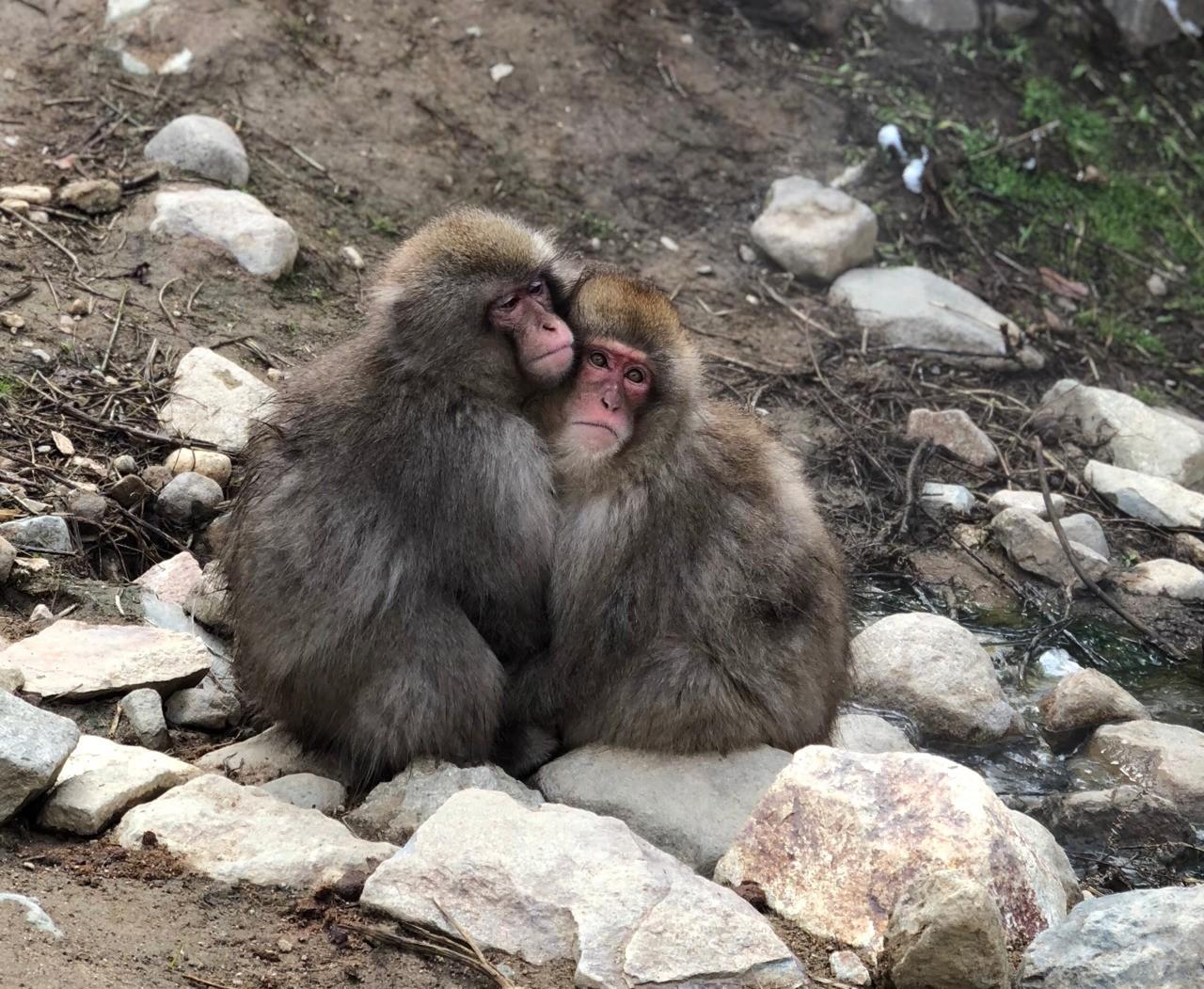 Snow monkeys in Nagano iPhone X No filter