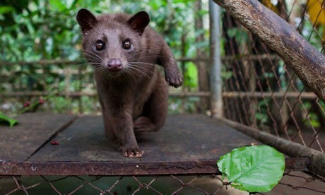 Civet coffee: why it's time to cut the crap