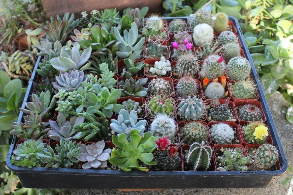 6 Succulent & Cactus Collection Awesome for Party or Wedding Favors and Gifts succulents plants lot