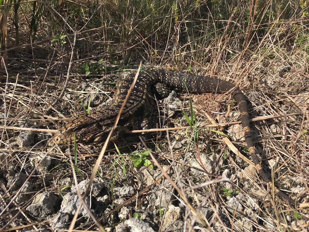 Invasion of big, voracious lizards threatens U.S. South: study