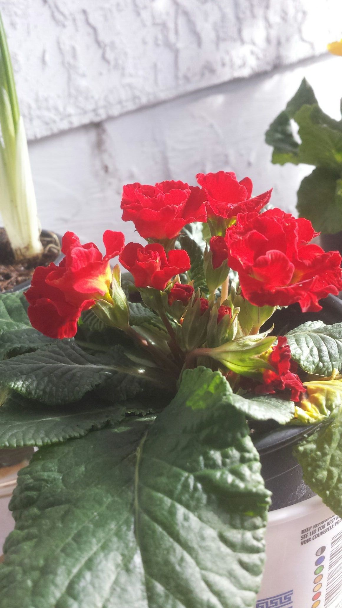 Fascinating double bloom Primula