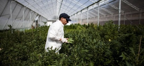Forget Colorado Weed, Marijuana Companies Are Going Global