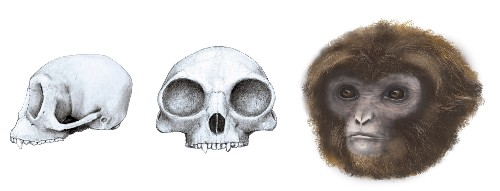 Fossil unearthed in Spain sheds light on ape evolution