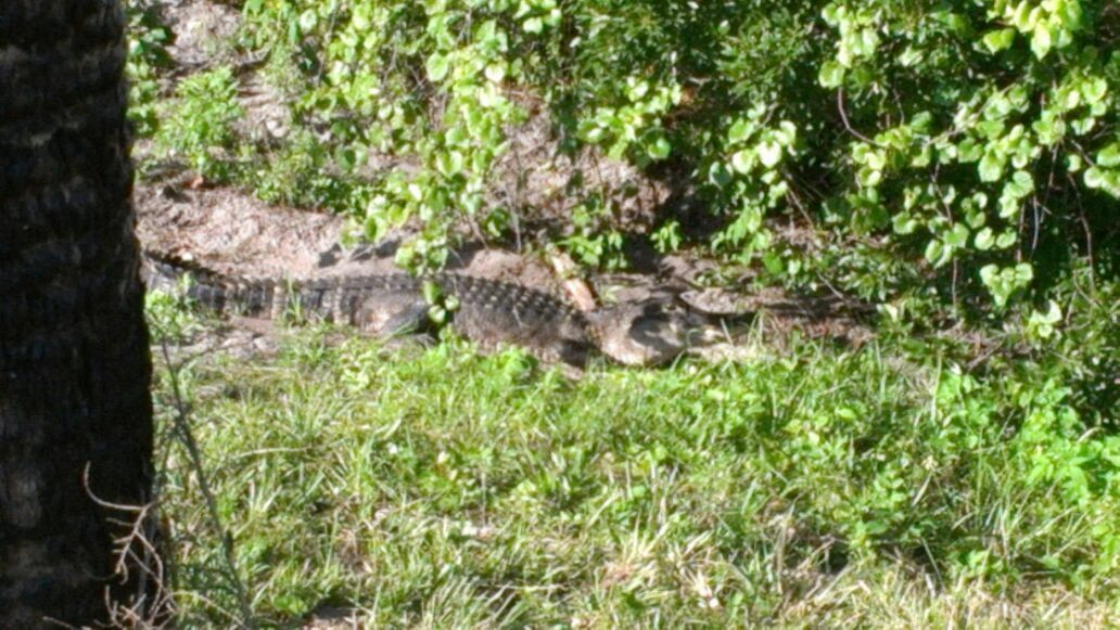 Just found this 5 foot alligator on the side of the road. Good thing I'm not the slowest in this group!