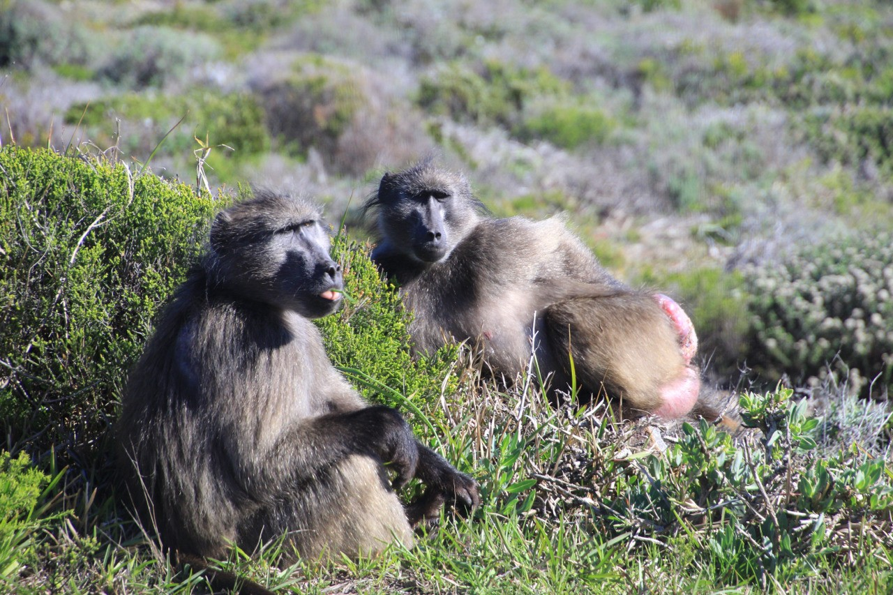 Baboons laying on the beach in Cape Town South Africa.