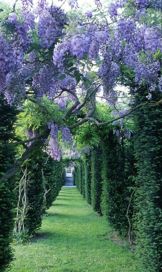 viola 🌸 wisteria - Chateau de la Ballue
