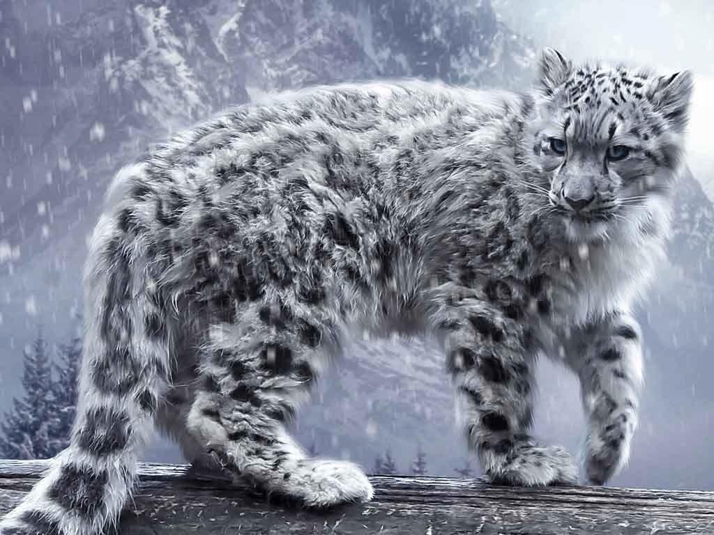 Le irbis plus connu sous le nom de Leopard des neige est certainement une des espèces les plus inétudiée