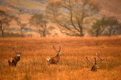 Scottish Red Deer Graze in the UK: Pictures