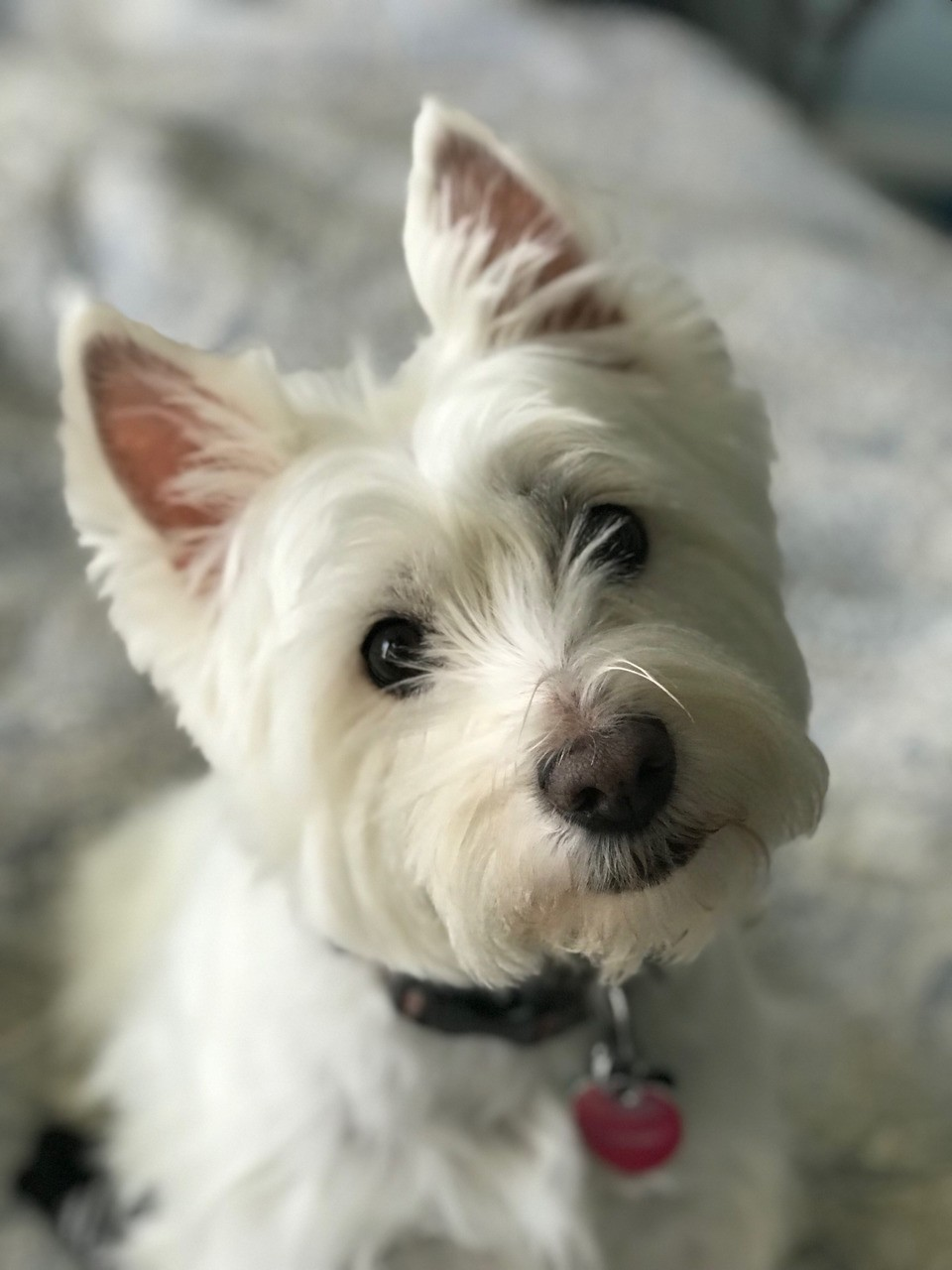 This dog is as cute as they come. #annie #annieisawestie #westiesarebesties #westhighlandterrier #westies #westielove