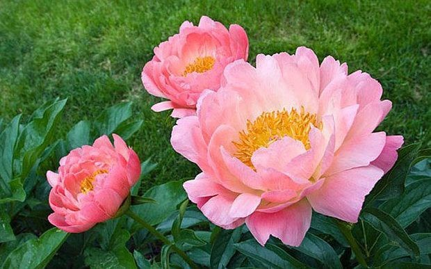 Think to summer and plant bare-root peonies and roses